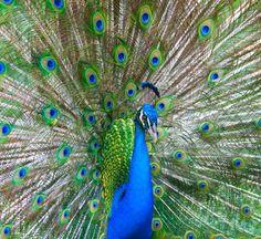 TheAmazingPhotosofFlyingPeacocks Animals Birds - Flying peacocks look like mythical creatures