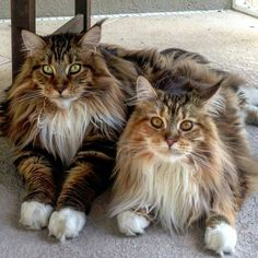 Gorgeous pair of Maine coons - Tap the link now to see all of our cool cat collections! #SavannahCat
