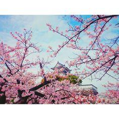 【yuka.8823goto】さんのInstagramをピンしています。 《#936chiy さんから#ピンクバトン というものが回ってきましたー。  ピンク! ピンクピンクピンク……悩。  案外、ピンクのものが身の回りになくて(洋服とか小物は多数あるけど)、自分の #撮影 したものを探しつつ。  ピンクで辿りついたのは、やっぱり#桜 でした。  今年の#春 に#撮影 したものを。  #岸和田城 の桜です。  来年の桜はどーかなぁ。  ÜÜÜ  #pink#cherryblossom#サクラ#お城#空#カメラ好きな人と繋がりたい #写真好きな人と繋がりたい#かめら主婦部#かめら女子 #写真撮ってる人と繋がりたい #フィンダー越しの私の世界》