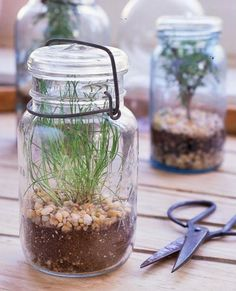 DIY MASON JAR TERRARIUM :: Vintage mason jars for a kitchen herbarium. Almost any herb can be started from seed in a mason jar. Chive, thyme & rosemary are excellent choices. When they outgrow their space, trim as needed or transplant into a larger container/the garden. Chives are pictured here & w/ mine at home, I found they did grew so much better in a north windowsill than in direct light in an east windowbox. (weird!) CLICK FOR MORE! | #herbs #herbgarden #masonjar #terrarium…