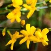 Jasminum nudiflorum. Click image to learn more, add to your lists and get care advice reminders each month.  Other names: Winter jasmine, Winter-flowered jasmine    Genus: Jasminum    Species: J. nudiflorum - J. nudiflorum is a medium deciduous shrub with long, arching branches, bearing bright yellow flowers in winter and spring.