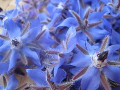 Borage / Borago officinalis                 An infusion of leaves and seeds is used in traditional medicine to increase breast milk production in the nursing mothers.