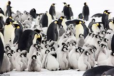 A new book by photographer Sue Flood documents the plight of emperor penguins as they migrate long distances and establish breeding colonies. Penguin Images, Penguin Pictures, Orcas, Nature Movies, Penguin Species, Especie Animal, Penguin Party, Baby Penguins, Photography Competitions