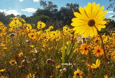 One day I will get to see the Namaqaland wild flowers, just need a good plan! (Six of the best places to see flowers in South Africa) Spring Flowers, Wild Flowers, Wildwood Flower, One Day I Will, Places To See, South Africa, The Good Place, Things To Do, Seasons
