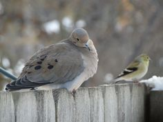 mourning dove and goldfinch