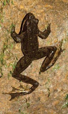 Rana iberica