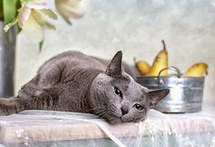 Pielęgnacja futra kotów krótkowłosych