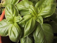 Grow Tomatoes Indoors How to grow basil indoors with natural or fluorescent light. Tips for pruning, harvesting, freezing and drying basil, plant care. Growing Tomatoes Indoors, Growing Tomatoes In Containers, Grow Tomatoes, Herbs Indoors, Growing Herbs, Chicken Pesto Pasta Salad, Chicken Soup, Culture Tomate, Fresco