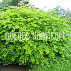 image de Euonymus alatus Red Shrubs, Euonymus Alatus, Quebec, Landscaping Ideas, Planting Flowers, Home And Garden, Gardens, Herbs, Landscape