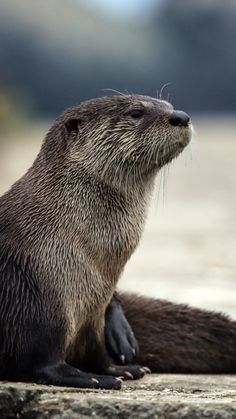 otter, animal, muzzle, hair