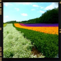 Flower color pattern in Furano