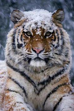Фотография Nature Animals, Animals And Pets, Baby Animals, Cute Animals, Wild Animals, Animals In Snow, Beautiful Cats, Animals Beautiful, Big Cats