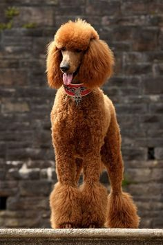 This is a great poodle cut; just enough foo foo, but not too much ;) #standardpoodle