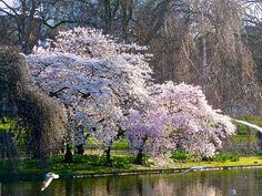 flores en el estanque del parque de San Jaime ___ Caminos Florales Londres   Naturaleza