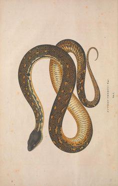 [1833] Descriptiones et icones amphibiorum / - Biodiversity Heritage Library