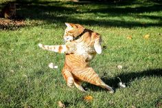 My cat is making a late run for the Heisman - Imgur