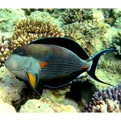 Love the Color scheme? Underwater Animals, Underwater Creatures, Underwater Life, Ocean Creatures, Saltwater Fish Tanks, Saltwater Aquarium, Aquarium Fish, Colorful Fish, Tropical Fish