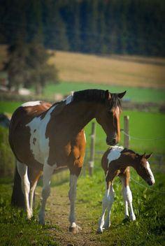 Cheval et poulain ( pie bai)