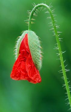 Paint Prep, Flower Images, Ranunculus, Poppies, Vegetables, Wallpaper, Drawings, Plants, Photography