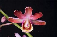 Myrmechophila tibicinis   'Gordon Emry'