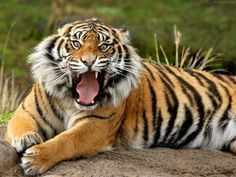 Animals 2013 | Angry Tiger Growling Showing Sharp Teeth Wallpaper | Animal Pictures