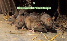 14 Ways To Kill Rats Naturally Pinterest Rats Mice