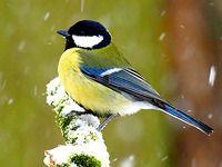 Ptáci na krmítku I., sýkora koňadra Parus Major, Pet Birds, Creatures, Animals, Horse, Photographs, Animales, Animaux, Animal