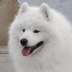 Beautiful Samoyed Dog!!!