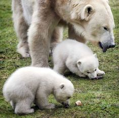 After a stay in a maternity cave with their mother Frimas for two months, young polar bears Noordje and Pixel emerge into the open air at Dierenrijk Nuenen Zoo in Nuenen, the Netherlands Picture: EPA/KOEN VAN WEEL Zoo Animals, Funny Animals, Cute Animals, Beautiful Creatures, Animals Beautiful, Beautiful Birds, Baby Polar Bears, Baby Animals Super Cute, Love Bear