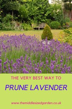 Clear and easy-to-follow instructions so you can prune your lavender and see it come back beautifully year after year. #garden #gardening #middlesizedgarden #backyard