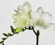Ambiance - Freesia - Flowers and Fillers - Flowers by category | Sierra Flower Finder