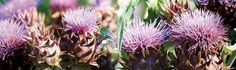 Artichoke & Cardoon Growing Guide | Baker Creek Heirloom Seeds