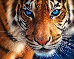 Billedresultat for beautiful tiger