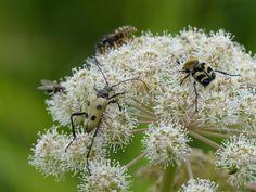 Longhorn beetle (P. quadrimaculata) & bee beetle (T. brevius), Viidumae.