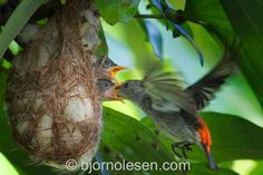Bjorn Olesen  Mid-air feeding by a female Scarlet-backed Flowerpecker (Dicaeum cruentatum) taken at a distance without flash.