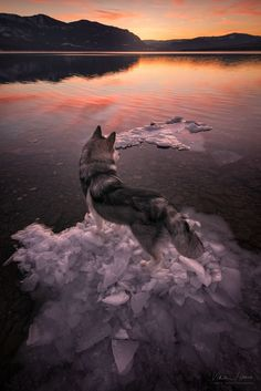 Jack - I forgot my tripod plate so ended up photographing my dog Jack, as he watched the sunset, standing on an ice cluster.   My  facebook  and  instagram
