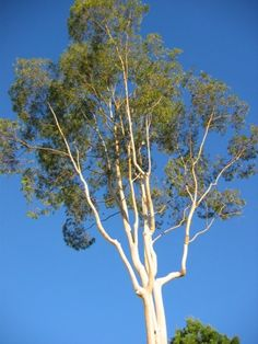 Eucalyptus Tree Care – Tips On Growing Eucalyptus