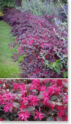 Plants Management Australia Pty Ltd Loreptalum plum gorgeous  Check frost tolerance
