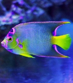 Summary: Many people are delighted by keeping live and colorful tropical fish at their home. Countless species of fish are kept at home as pets. There are several Tropical fish online stores that sell tropical fish online. Underwater Creatures, Underwater Life, Ocean Creatures, Saltwater Aquarium, Aquarium Fish, Freshwater Aquarium, Saltwater Fishing, Saltwater Tank, Colorful Fish