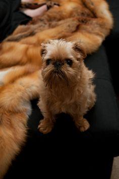 Brussels Griffon / Griffon Bruxellois Puppy Dog