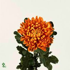 Chrysanthemum Blooms Astro are a gold / bronze disbudded, single headed cut flower variety. 70cm tall & wholesaled in 10 stem wraps.