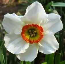 Narcissus - December Birth Flower for our Christmas angel. I want it to be above the other 3 flowers for my kids.