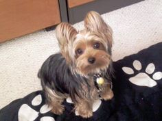 Yorkie Rescue - Annie when she was just a pup