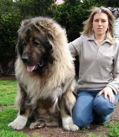 King of Dogs Caucasian Shepherd. The Caucasian Mountain Dog is a very large, muscular, powerful dog. It is assertive, strong-w. Huge Dog Breeds, Dog Breeds List, Huge Dogs, Giant Dogs, Russian Dog Breeds, Russian Bear Dog, Beautiful Dogs, Animals Beautiful, Amazing Dogs