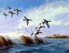 Artist David Maass Unframed Canvasbacks Art Print Ducks Flying Low | WildlifePrints.com