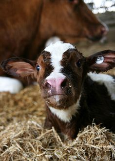 Look at that cute face.....how could you not love cows?