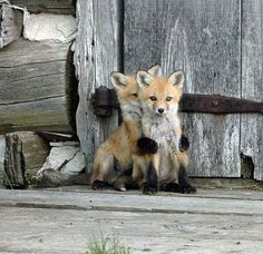 Best collection of cute Fox pictures. These pictures will make you fall in love with the fox all over again. Fox is one of the cutest animals in the universe. Cute Baby Animals, Animals And Pets, Funny Animals, Funny Foxes, Newborn Animals, Exotic Animals, Animal Babies, Strange Animals, Animals Photos