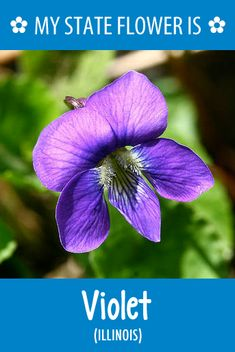 #Illinois' state flower is the Violet. What's your state flower? http://pinterest.com/hometalk/hometalk-state-flowers/