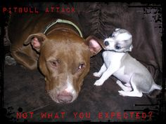 Aww. Doesn't look like a vicious PIt to me!!!!