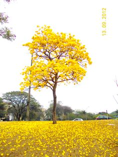 Ipe amarelo, a cool yellow-flowering brazilian tree.